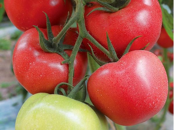 精品大果西红柿