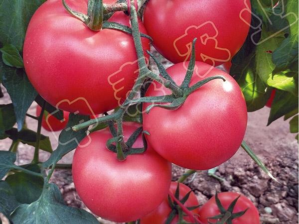 抗叶斑西红柿