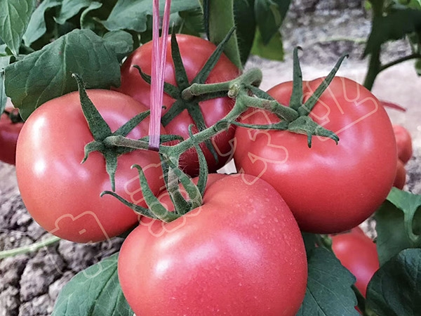 抗叶霉西红柿