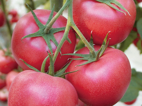 临沂早春抗死棵西红柿
