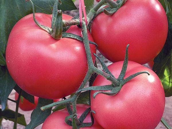 耐裂西红柿