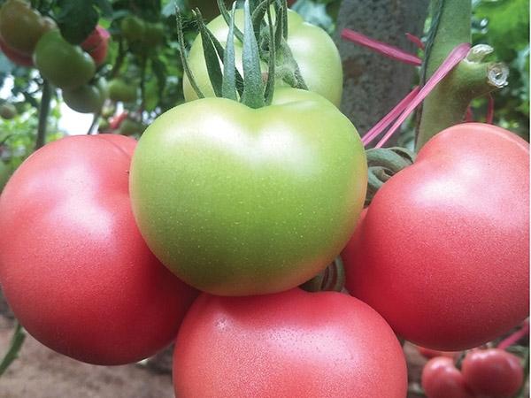 高抗病毒西红柿