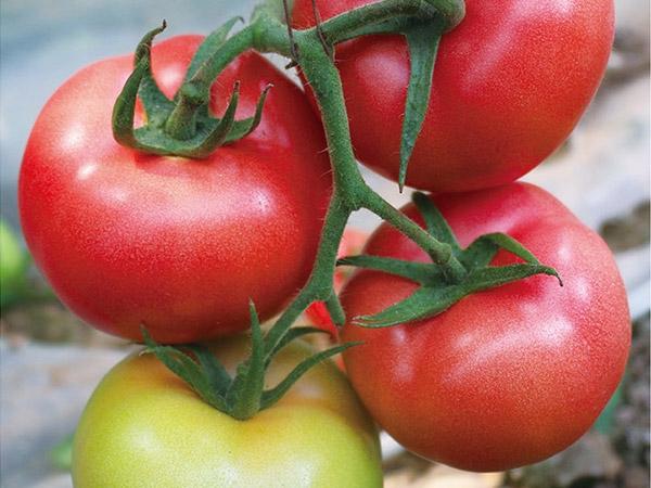 早春西红柿