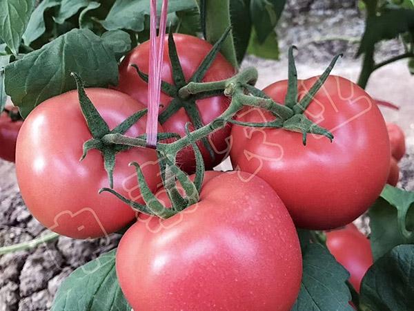 抗死棵西红柿