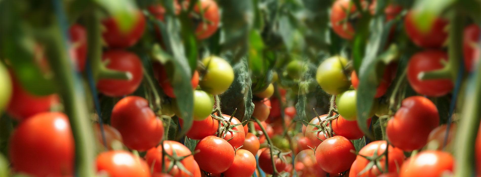 耐热西红柿